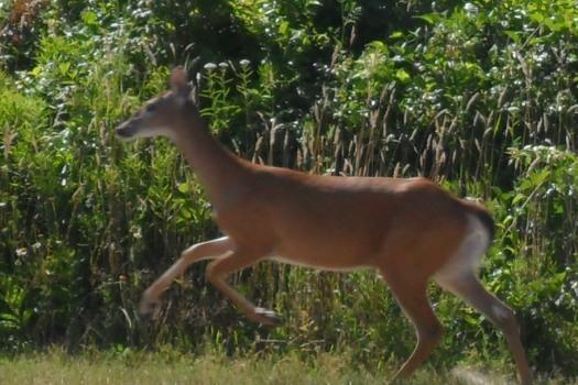 A doe, a deer, a female deer.